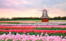 Preview wallpaper Tulips field, windmill, Holland