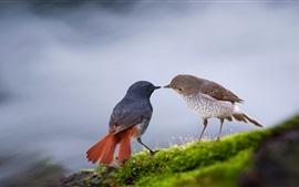 Dois pássaros, grama, rio