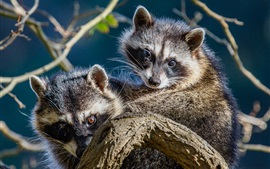 Preview wallpaper Two raccoons look at you