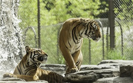 Two tigers, zoo, water splash