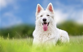 Preview wallpaper White Swiss shepherd dog, front view, grass