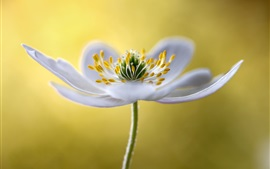 Preview wallpaper White flower macro photography, petals, stamens