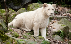 预览壁纸 白色的狮子幼崽