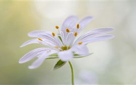 Preview wallpaper White petals flower, stamens, stem
