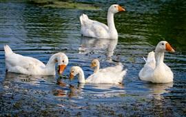 Cisne branco, lagoa
