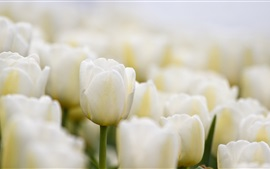 Preview wallpaper White tulips flowers close-up