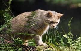 Chat sauvage, chasseur, herbe