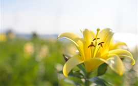 Preview wallpaper Yellow lily flower close-up