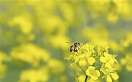 Yellow rapeseed flowers, bee, bokeh