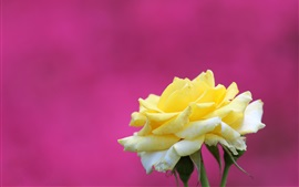Preview wallpaper Yellow rose, purple background