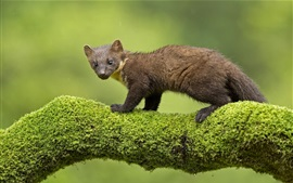 Preview wallpaper Animals, marten, moss