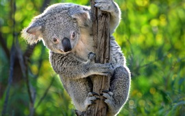 Preview wallpaper Australia, cute koala, marsupials