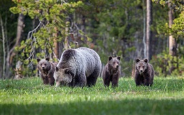 Bears family, cubs, grass