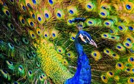 Hermoso pájaro, pavo real