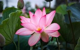 Preview wallpaper Beautiful pink lotus, petals, leaves