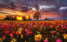 Beautiful tulip fields at sunset, houses, trees, clouds