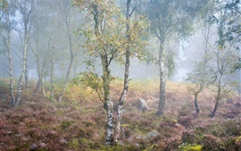 Preview wallpaper Birch, forest, flowers, fog