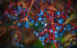 Preview wallpaper Blue colored berries, twigs