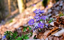 Blue little flowers, dry leaves, blurry