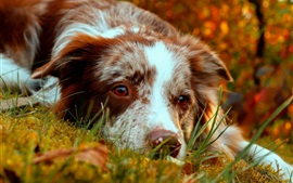 Preview wallpaper Border collie rest, autumn, grass