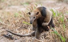 Бразилия, животные крупный план, муравьед