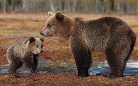 Brown bears, cub, water