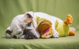 Preview wallpaper Bulldog sleep, toy