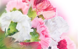 Carnations, white and pink flowers
