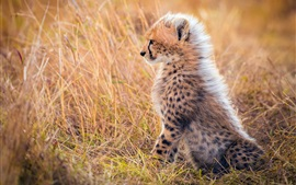 Preview wallpaper Cheetah cub, mane, grass, Africa