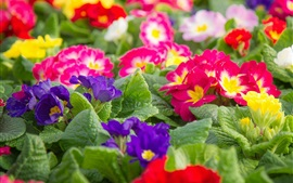 Preview wallpaper Colorful primrose, flowers photography
