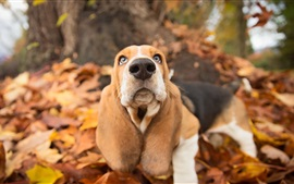 Preview wallpaper Cute dog look at you, autumn, leaves