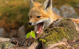 Cute fox yawn, mouth