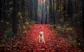 Preview wallpaper Dog in autumn, forest, red maple leaves ground