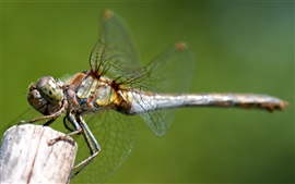 Preview wallpaper Dragonfly, insect, macro photography