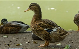 Ducks, feathers