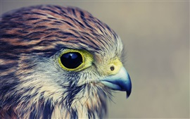 Preview wallpaper Eagle baby, head, eyes, beak, feathers