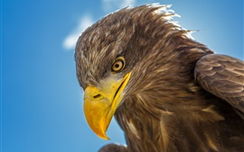 Preview wallpaper Eagle head close-up, beak, eye