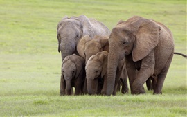 Preview wallpaper Elephants family, South Africa, grass