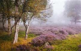 England, Heather, Derbyshire, birch forest, wildflowers, fog, autumn