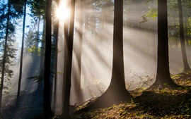 Forest, trees, sun rays, glare