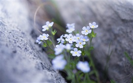 Forget-me-not, blue flowers, spring