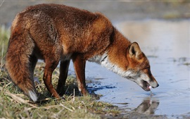 Preview wallpaper Fox drink water, pond