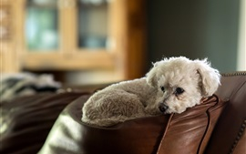 Preview wallpaper Furry white dog rest on sofa