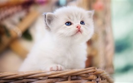 Preview wallpaper Furry white kitten, basket, blurry