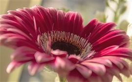 Gerbera, pétalas cor de rosa, macro fotografia de flores