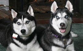 Husky dogs, front view
