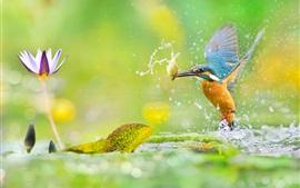 Кингфишер ловит рыбу, брызги воды, лотоса