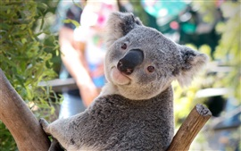 Koala mira hacia atrás