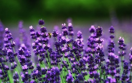 Preview wallpaper Lavender flowers, bees