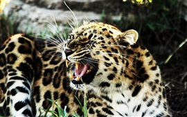 Leopard angry, face, teeth